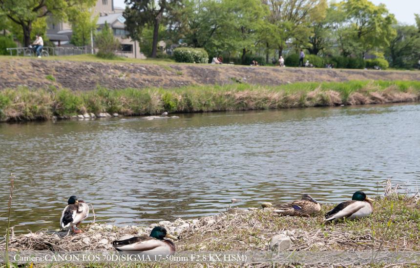 羽を休める鴨たち