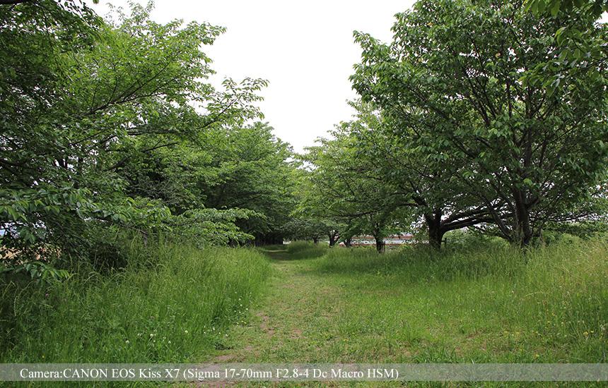 桂川と天神川の中洲の桜並木