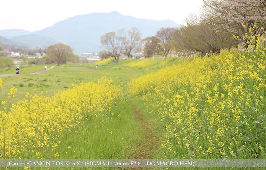 桂川緑地の菜の花の小径