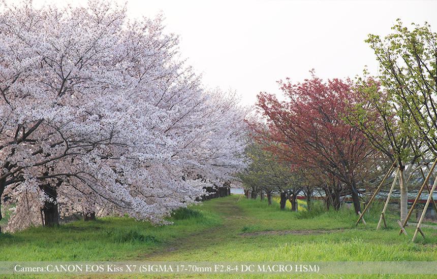 桂川緑地の桜並木