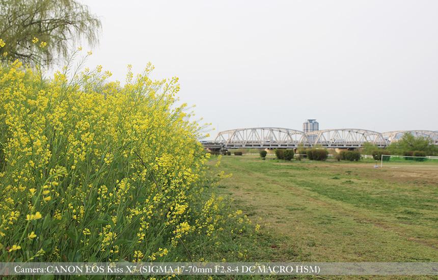 桂川緑地久我橋東詰公園の菜の花