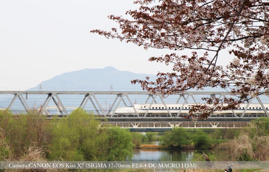 桂川緑地の桜並木と新幹線