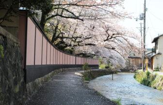 京都岡崎の桜