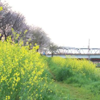 桂川の桜並木と菜の花