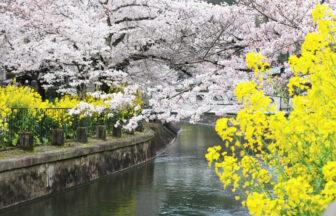 山科疎水の桜と菜の花